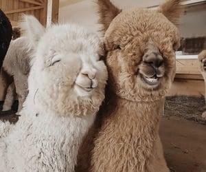 animal, llamas, and nice image