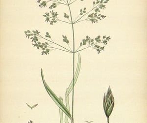 Great Britain, pictorial works, and poa trivialis image