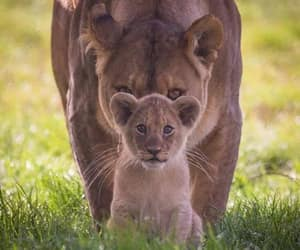 Animais, filhote, and leoa image