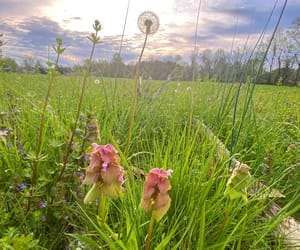dandelion, field, and flowers image
