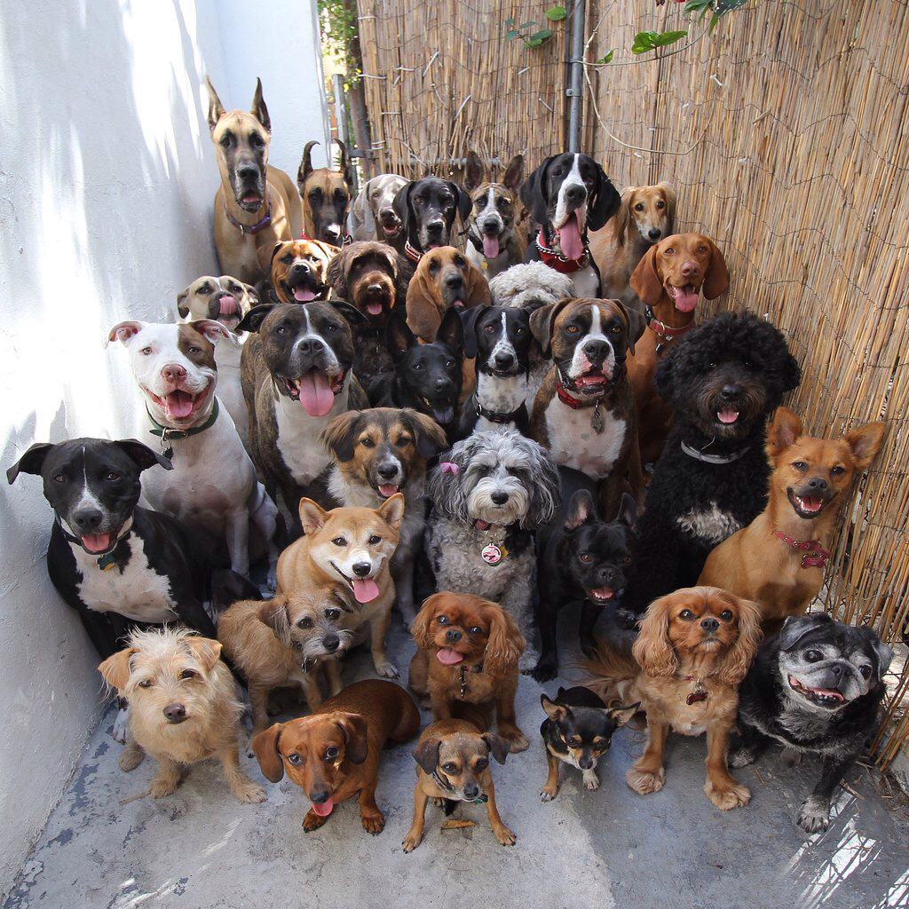 animals, border collie, and great dane image
