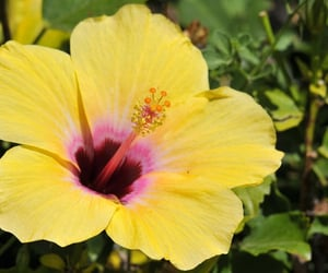 flower, hibiscus, and plant image