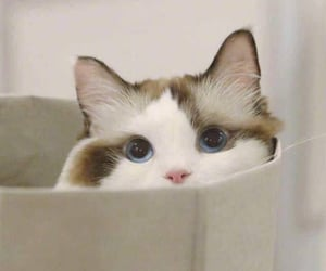 animals, cats, and blue eyes image