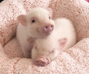 adorable, piglets, and pink image