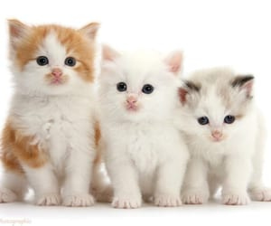 cat breeder, best cat breeder, and cheap cats image