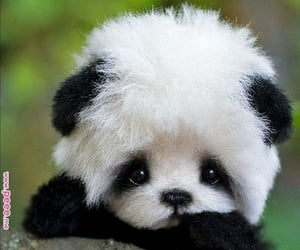 baby panda and cute image