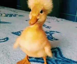 birds, funny, and ducks image
