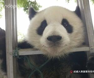 adorable, panda, and animal image