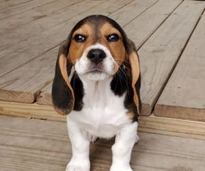 adorable, puppy, and basset hound image