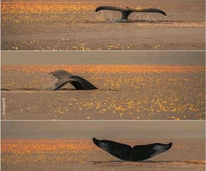 🐳, 🐋, and sunset&humpback whale image