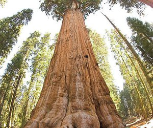 sequoia national park and huge trees image