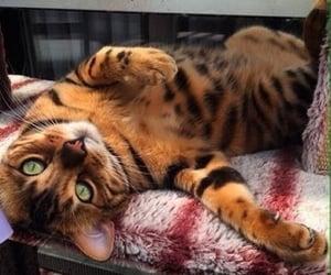cat, animal, and bengal image