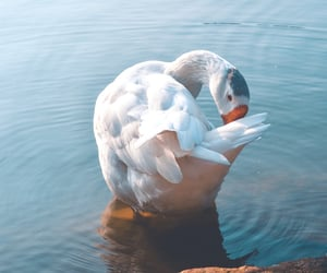 aesthetic, duck, and lake image