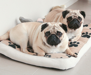 pug, not ugly, and so cute image