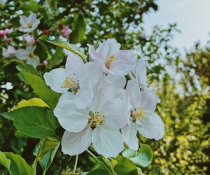 apple, blossom, and blossoms image