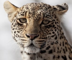 animal, leopard, and theme image