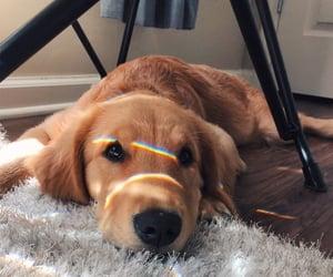 dog, golden retriever, and home image