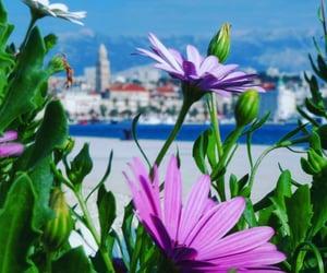Dalmatia, split, and flower image