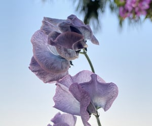 #Sweetpea #スイートピー #flowers #花