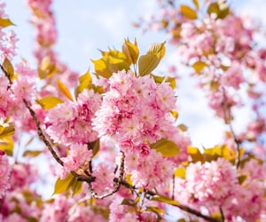 cherry blossoms, flowers, and nature image