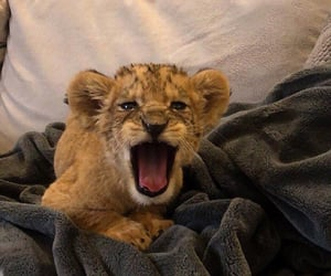 animal, baby lion, and cub image