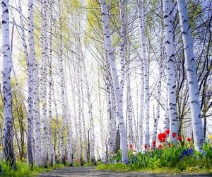 birch, springtime, and tulips image