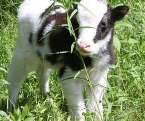adorable, animals, and calf image