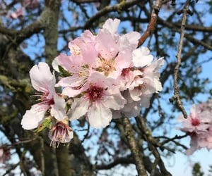 almond blossom, flower, and nature image
