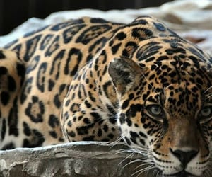 theme, leopard, and animal image