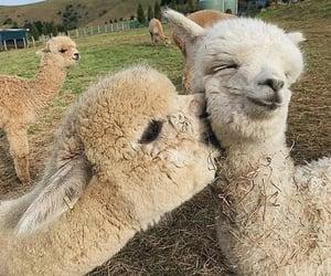 animal, love, and alpaca image