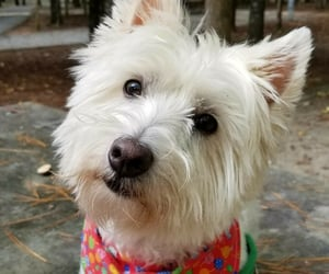 animals, terriers, and westie image