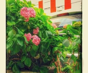 flor, hortensia, and naturaleza image