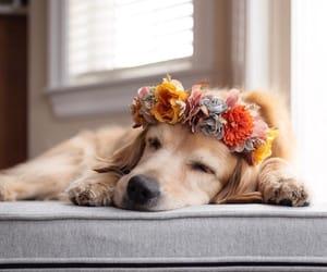 dog, animals, and golden retriever image