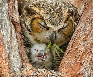 owls, birds, and wildlife image