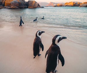 animals, beach, and penguins image