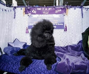 archive, blanket, and poodle image