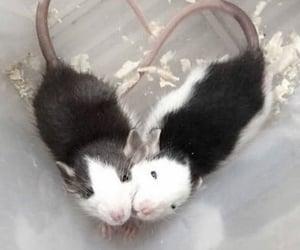 animal, rat, and heart image