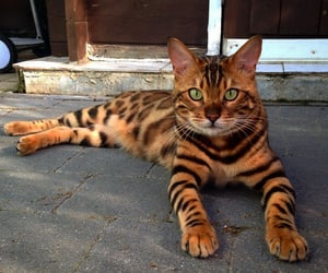 animals, adorable, and bengal cat image
