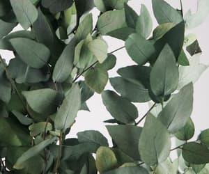 eucalyptus stuartiana image