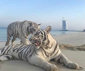 tiger, animals, and theme image