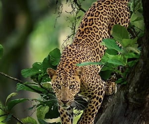 adventure, animals, and leopard image