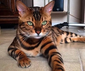 animal, catlovers, and cat image