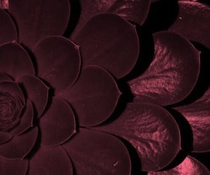 burgundy, flower, and theme image