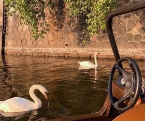 photography, Swan, and travel image