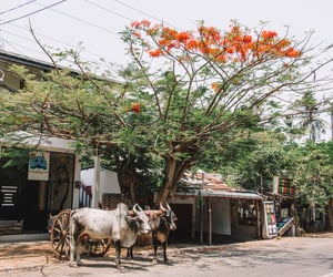 asia, cow, and travel image