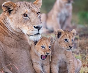 cute animals, lion, and photograph image