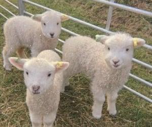 sheep, animal, and soft image