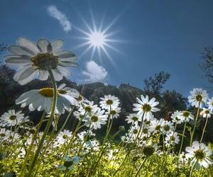 daisy, field, and garden image