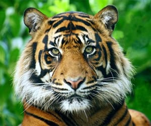 animal, south china tiger, and animals image