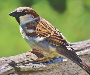 sparrow, indian birds, and domestic bird image